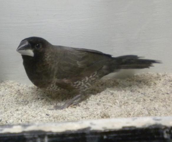 Moka grigio (maschio)