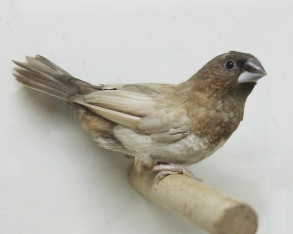 Moka bruno pastello ali chiare non in standard (maschio)
