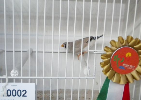 Campionato Italiano Rimini 2012 (3° class. becco giallo femmina)