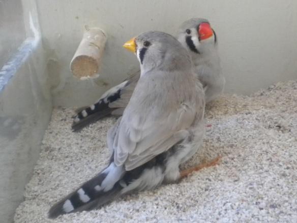 Grigio dorso chiaro becco giallo e portatore a confronto (femmine)