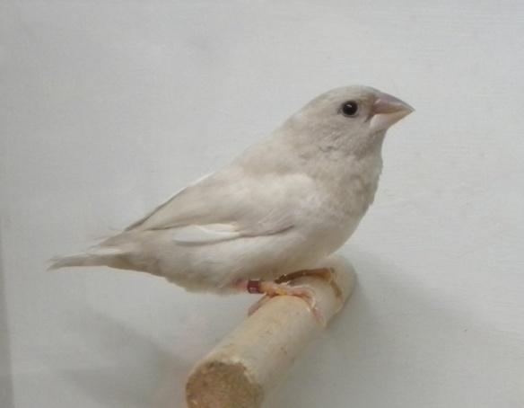 Rosso grigio pastello (maschio)