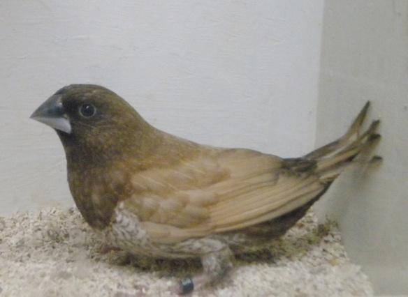 Moka bruno pastello (femmina)