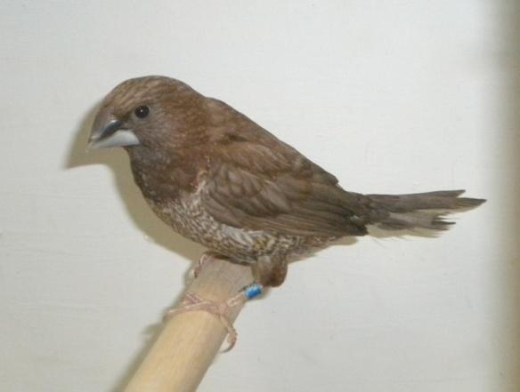 Nero bruno pastello portatore di moka bruno