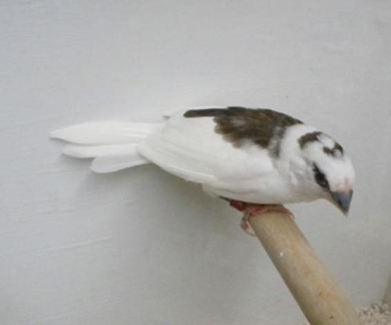 Scudato con calottina (femmina)