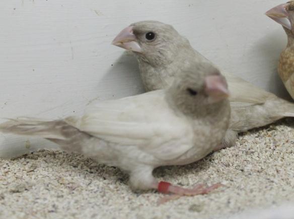 Rosso grigio pastello ali chiare (maschi)