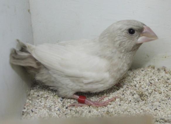 Rosso grigio pastello ali chiare (maschio)