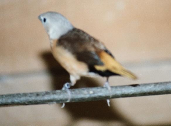 Donnacola testa grigia (maschio)