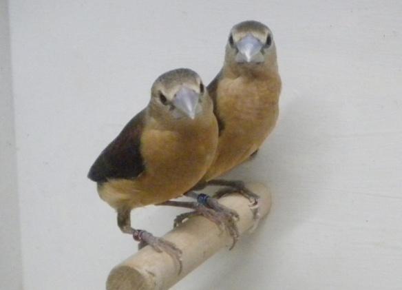 Donnacola testa grigia (coppia)