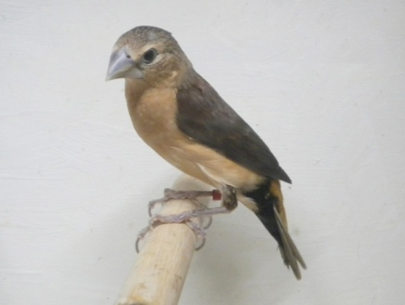 Donnacola testa grigia (femmina)
