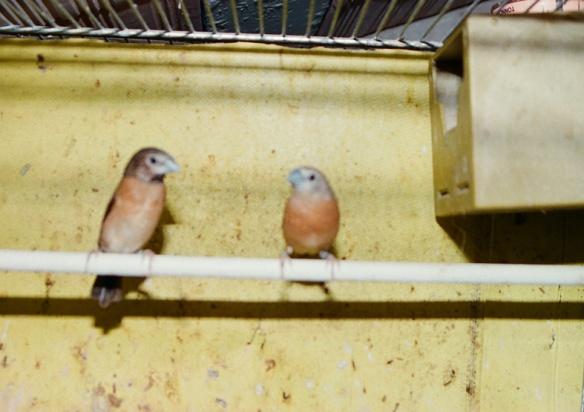A SN: ibrido femmina di d. t. grigia x d. p. castano. A DX: maschio di d. t. grigia