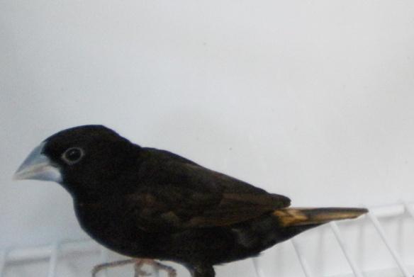 Cappuccino nero (adulto)