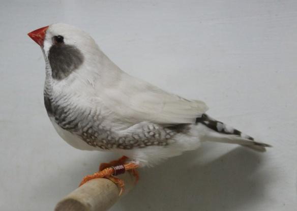 Grigio mascherato o. r. guancia nera (maschio)