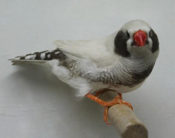 Grigio Mascherato o.r. guancia nera (maschio)