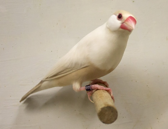 Padda Feomelanico Pastello