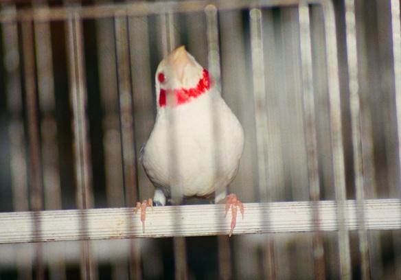 Gola tagliata albino (maschio)
