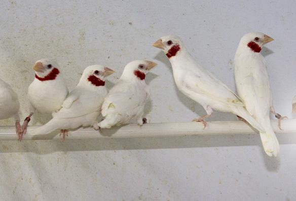 Gola tagliata albino (maschi)