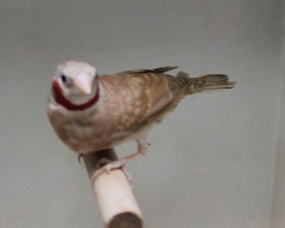 Gola Tagliata bruno (maschio)