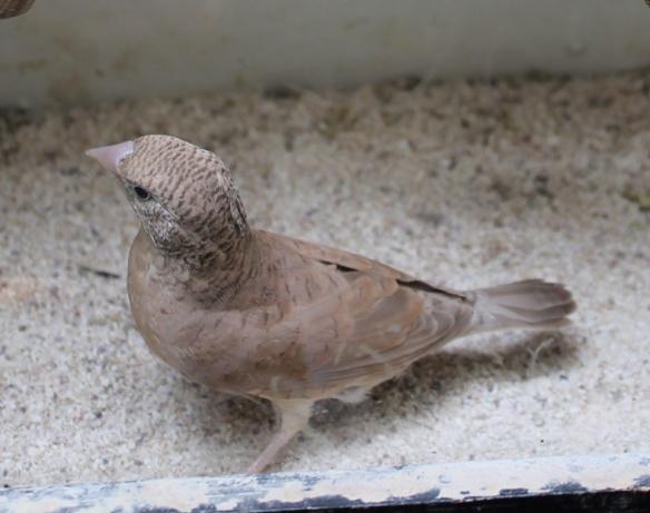 Gola Tagliata bruno (femmina)