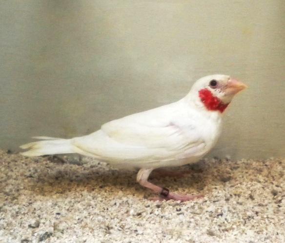 Gola tagliata albino (giovane maschio)