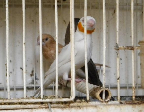 Gola tagliata albino giallo insieme ai genitori adottivi