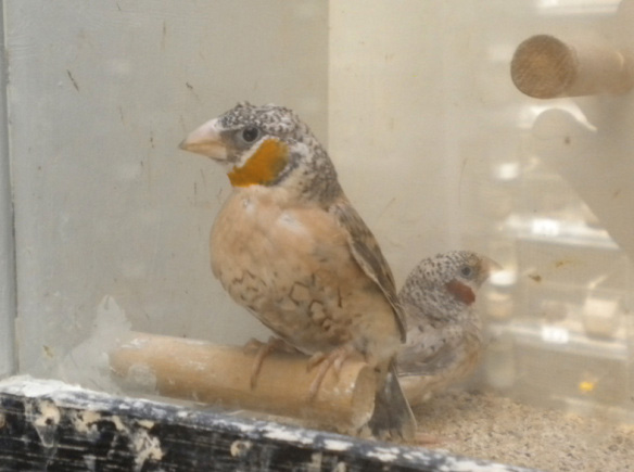 Gola tagliata giallo (maschio)
