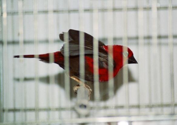 Pireneste Rosso (maschio)