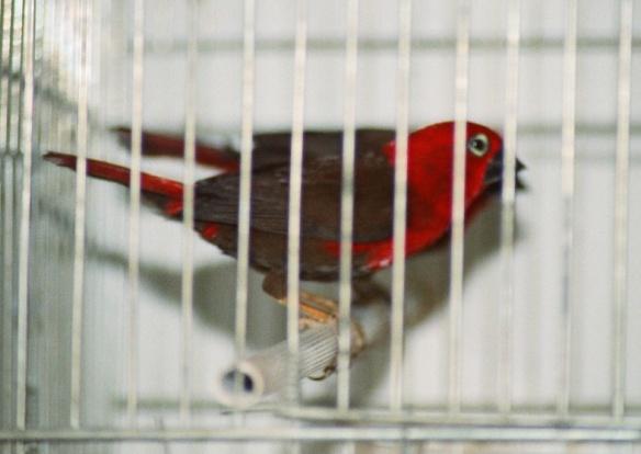 Pyreneste Rosso (maschio)
