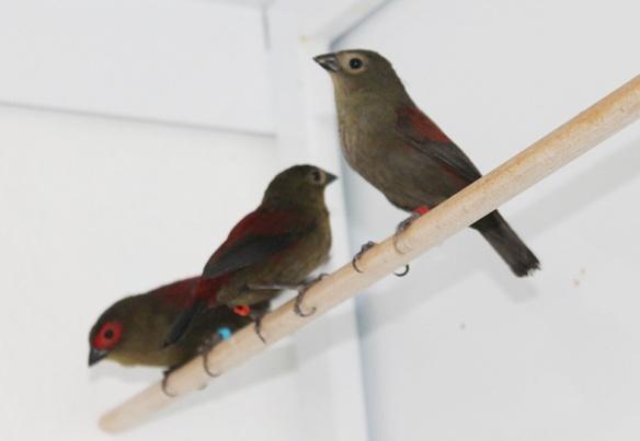 Astro montano di Reichenow (due femmine e un maschio)