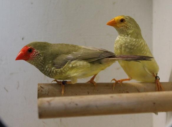 Diamante Codarossa agata e agata testa gialla (femmine)
