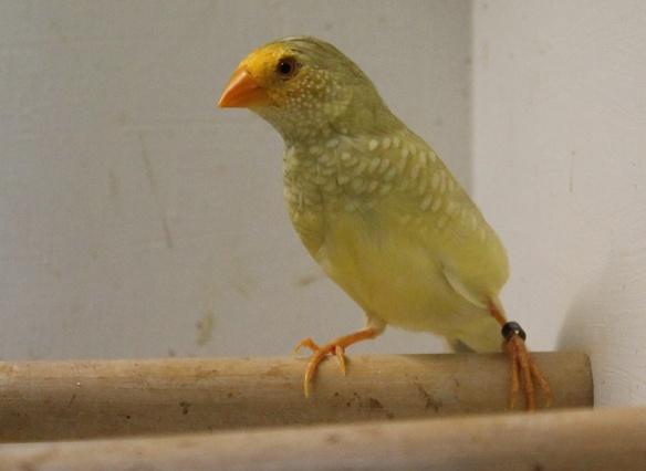 Diamante Codarossa agata testa gialla (femmina)