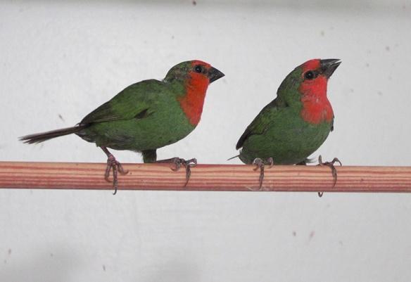 Diamante pappagallo (coppia)