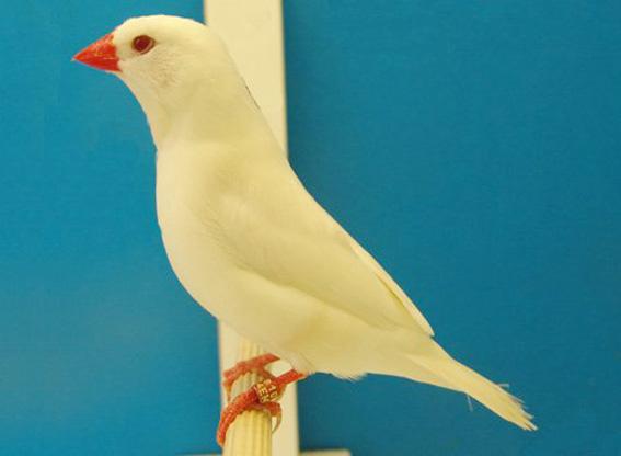 Mutazione: albino (foto M. de Queiroz Garcia)