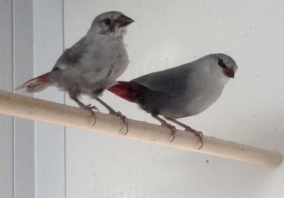 Estrilde coda d'aceto (coppia)