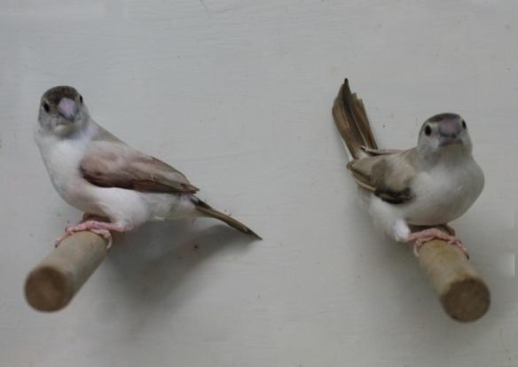 Becco di piombo pastello (coppia)