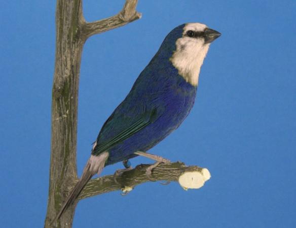 Mutazione: cobalto (blu-oliva)