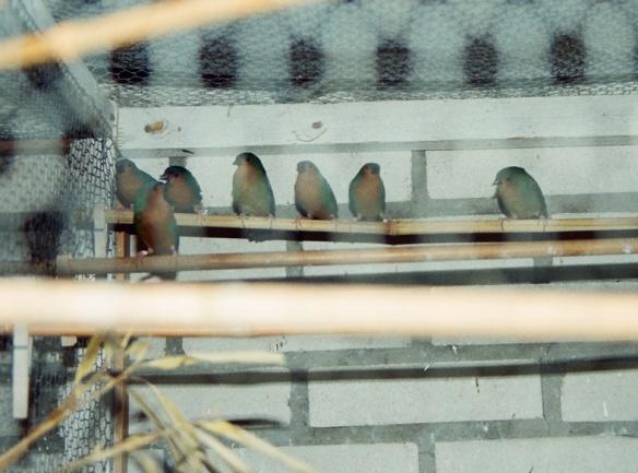 Diamante del bambù in voliera (allevamento olandese)