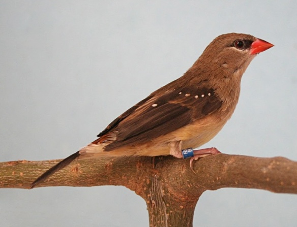 Bengalino moscato (femmina)