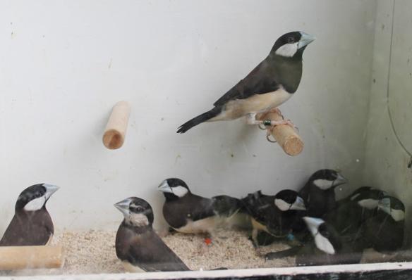 Gruppo di Panda di Timor prima del sessaggio