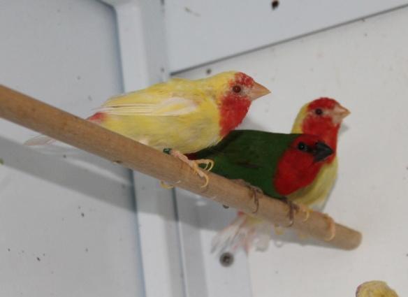 Diamante pappagallo Lutino