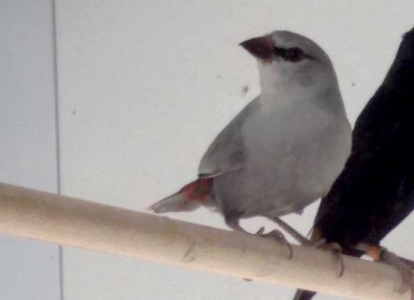 Estrilde coda d'aceto (maschio)