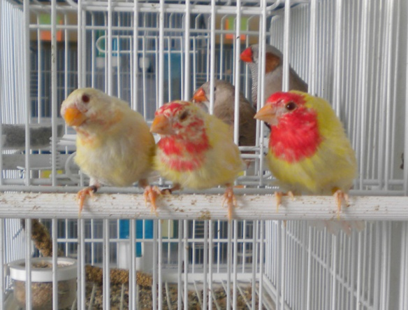 Tre giovani diamante pappagallo lutino in diverse fasi della muta (maschi)
