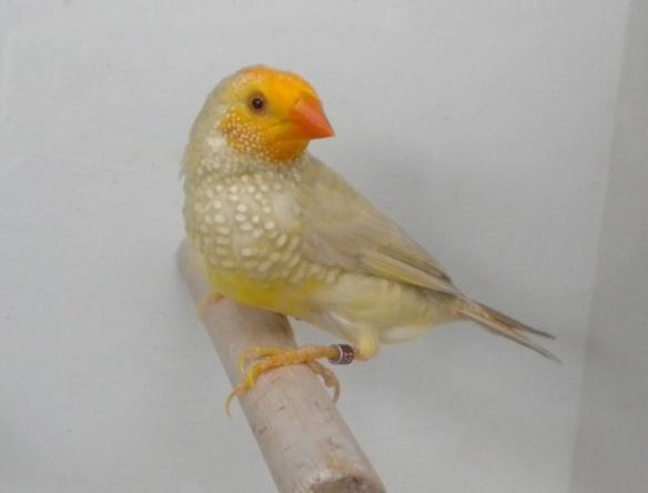 """Mutazione: """"Giallo"""" probabile Agata Topazio testa gialla (maschio)"""