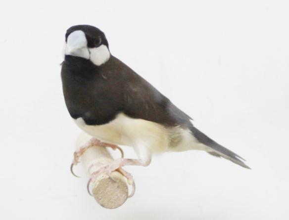 Padda di Timor (maschio)