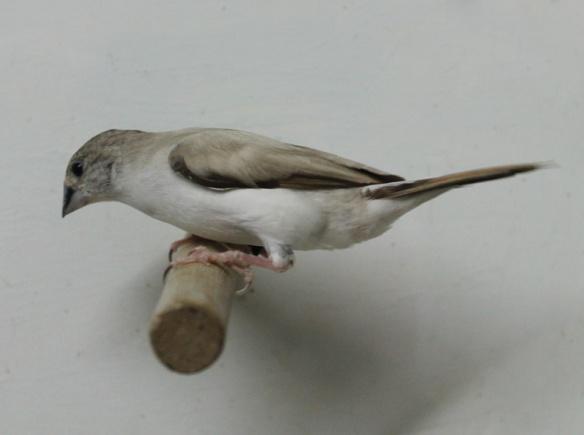 Becco di piombo pastello (maschio)