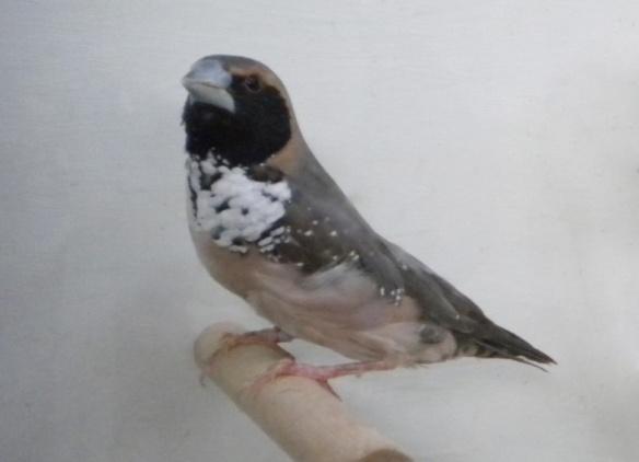 Donnacola petto bianco (maschio)