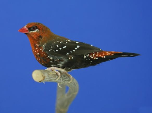 Bengalino moscato (maschio)