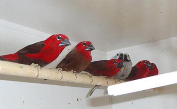 Spaccasemi Rosso (foto M. de Queiroz Garcia, allevamento olandese)