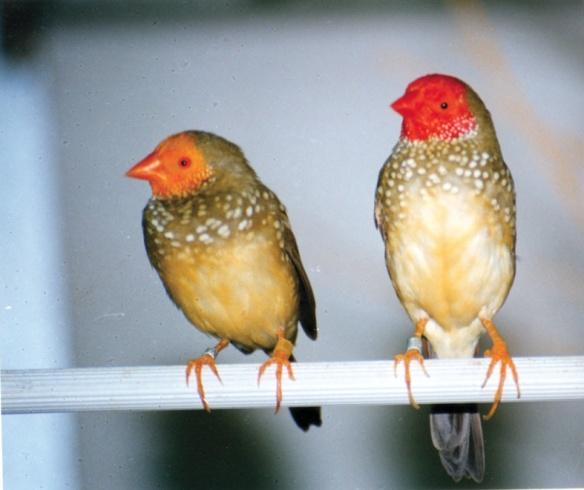 Mutazione: Testa gialla e ancestrale a confronto (maschi)