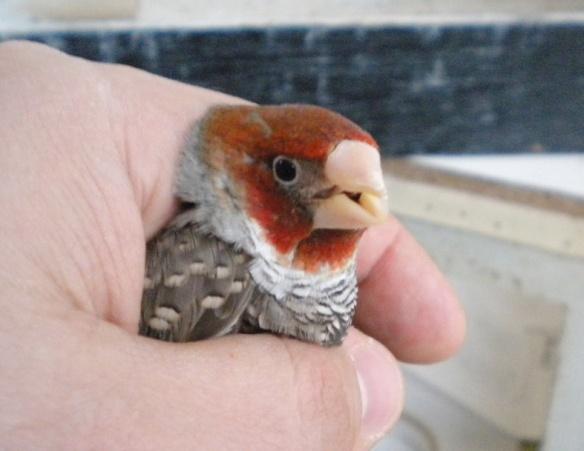 Amadina testa rossa (maschio)