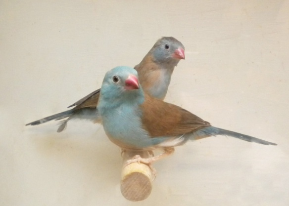 Astrilde azzurro (coppia)